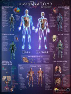 Human Anatomy Wall Chart