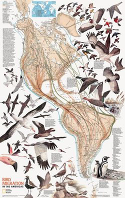 Bird Migration in the America's Wall Map